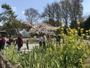 服部緑地公園お花見